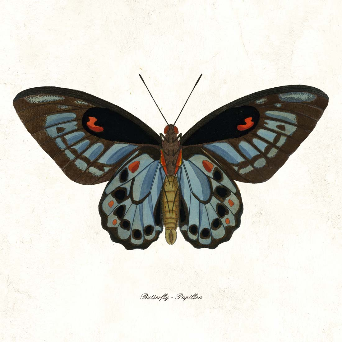 Cuvier Blue Black Butterfly High Quality Giclee Print